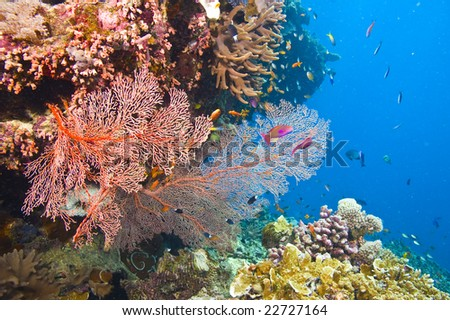 large orange colored gorgonian common sea fans and variety of colorful coral with deep blue water of great barrier reef, australia