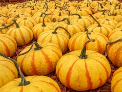 Large orange striped pumpkins await buyers at fall pumpkin market.