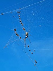large orb spider and small spiders in web against bright blue sky