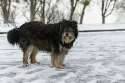 large overgrown stray dog in the snow. Frozen, homeless dog lies on the snow. Animals.