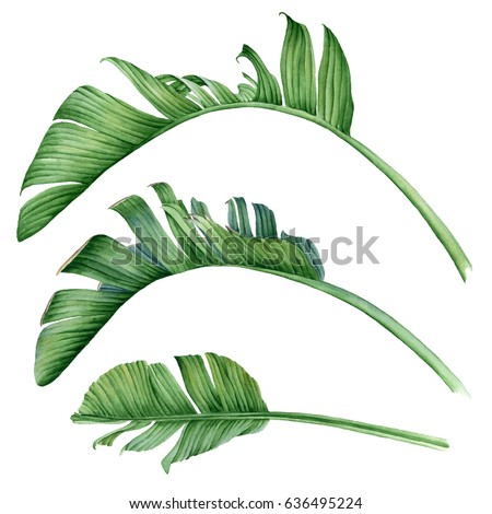 Large palm leaves. Botanical watercolor illustration. Detailed and realistic art.