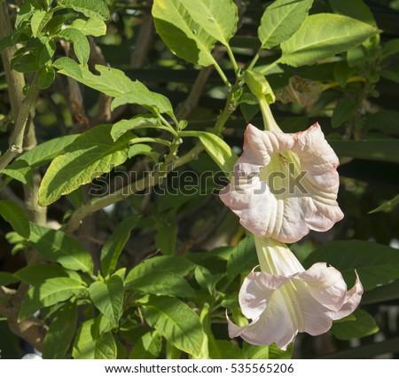 Large Pastel Pink Trumpet Flowers Of Datura A Genus Of Nine