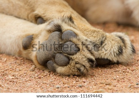 Large paws of a lion #111694442
