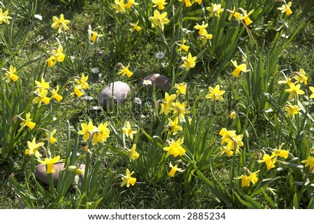 Large pebbles amidst daffodils with daisies in between