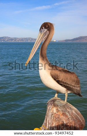 Large pelican on a pier