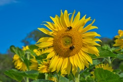 Large, perfect sunflower being pollinated by two bumble bees. A fabulous show-stopper in a sea of yellow sunflowers and green leaves on a sunny, blue sky summer's day in Sweden. Late August 2020.
