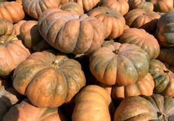 Large Piles Scattering of Orange Pumpkins and Gourds at a Pumpkin Patch for Halloween or Thanksgiving. Large pumpkin harvest. Fairs, festivals, selling beautiful large pumpkins.
