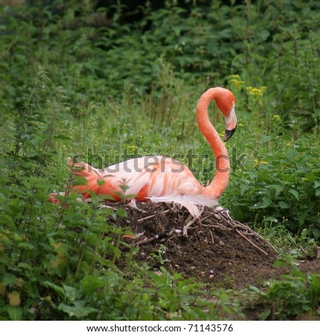 Large pink American Flamingo - Phoenicopterus ruber
