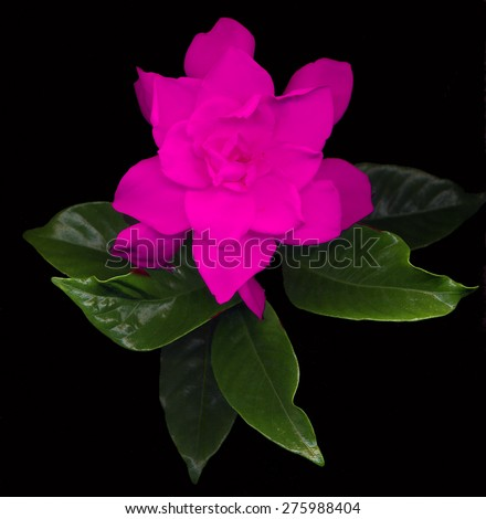 large pink gardenia flowers with green leaves on black background