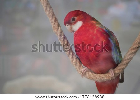 Large pink rosella Platycercus elegans parrot siting on a rope in a pet shope window,close-up. Stock fotó ©
