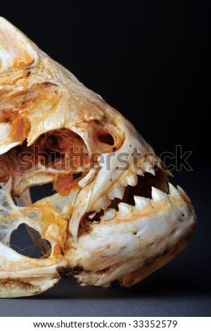 Large Piranhas Skeleton from the Amazon River.