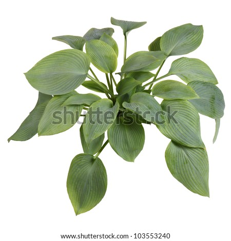 Large plant of blue-leaved hosta cultivar Guardian Angel isolated against white