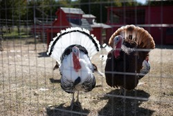 Large, plump domesticated turkeys in caged area in residential neighborhood