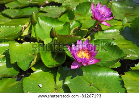 Large pond overgrown with flowering pink water lilies