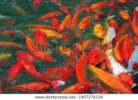Large pond with a large group of colorful Koi fish in a feeding frenzy. #1407276134