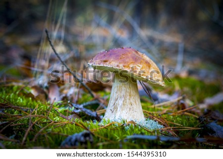 Large porcini mushroom grows in nature. Autumn mushrooms grow in forest. Natural raw food growing. Edible cep, vegetarian natural organic meal #1544395310