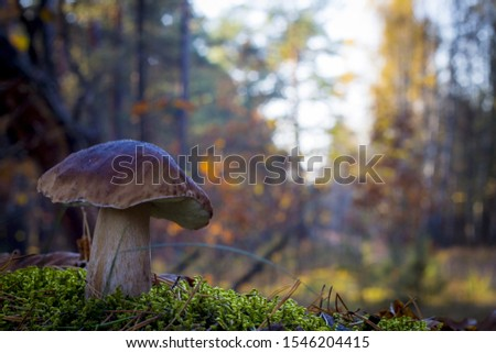 Large porcini mushroom grows in wood. Autumn mushrooms grow in forest. Natural raw food growing. Edible cep, vegetarian natural organic meal #1546204415