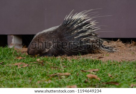 Large Porcupine, Common Porcupine, Malayan Porcupine, East Asian Porcupine