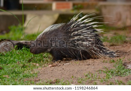 Large Porcupine, Common Porcupine, Malayan Porcupine, East Asian Porcupine