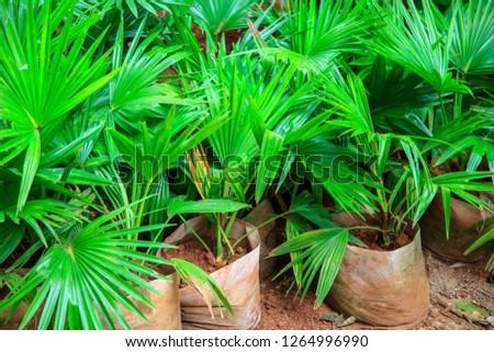Large Potted Neanthe Bella Palm, Plants in pots for landscape design #1264996990