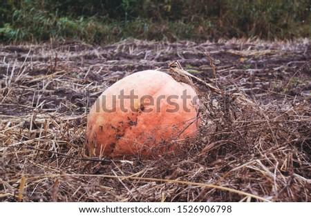 Large pumpkin in a large garden, ripe vegetables.