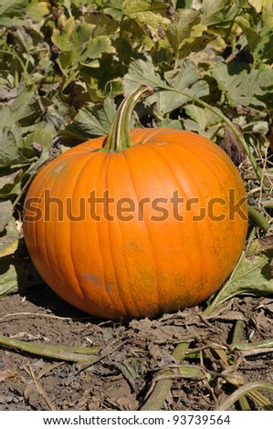 Large Pumpkin in Patch