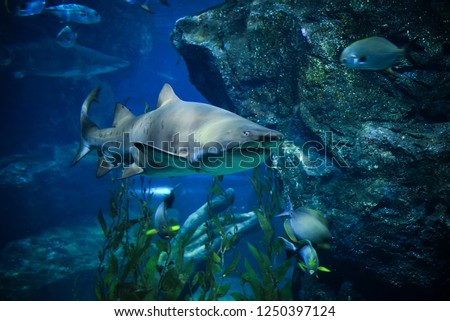 Large ragged tooth shark picture sea underwater / Sand tiger shark swimming marine life in the ocean