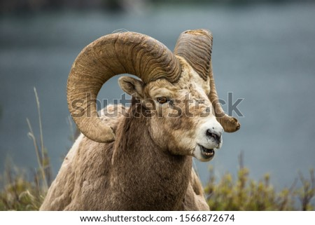 Large ram bighorn sheep mountain goat laying in the grass with mouth open on gray background. Canadian Rocky Mountain Bighorn Sheep Foto stock ©