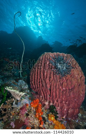 Large red barrel sponge with black feather star with sunlit blue water background.  Indonesia, 2012