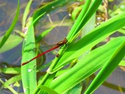 large red damselfly dragonfly, Pyrrhosoma nymphula,