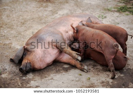 Large red pig of Duroc breed feeds piglets. Concept of happy motherhood of animals. Swine farm. Selective focus #1052193581