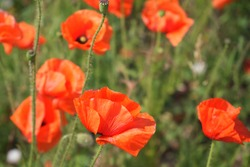 Large red poppy flowers close up. Beautiful wildflowers with red petals.