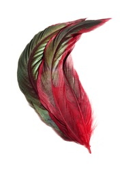 Large red rooster feathers