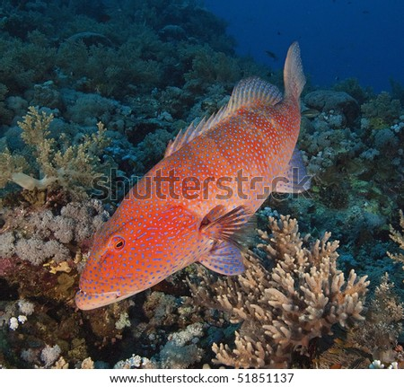 Large Red Sea coral grouper on a coral reef