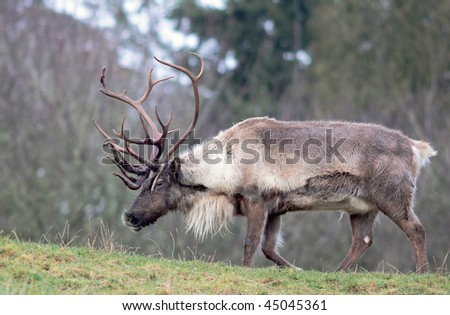Large reindeer with huge rack of antlers standing in field