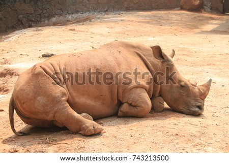 Large rhino lying in the Guangzhou Zoo. On a good day in China.  #743213500