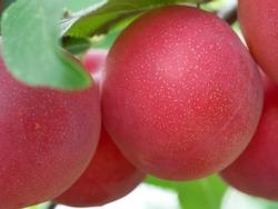 Large ripe cherry plum, close-up photo. Ripe berries.