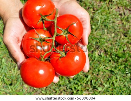 Large ripe tomatoes in his hand