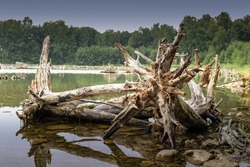 Large root of an old tree lies in the water. Dead trees in the lake.