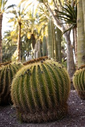 Large round cactus on brown stones with cacti and palm trees in the background. Natural park in the city. Vertical