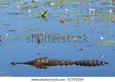 Large saltwater crocodile, Yellow water billabong, Kakadu National Park, Northern Territory, Australia
