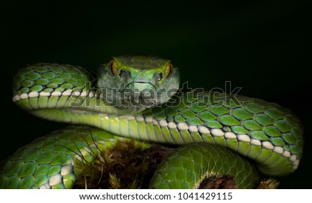 Large-scaled Pit Viper seent at Munnar