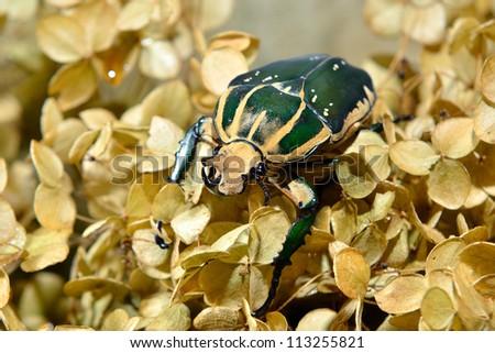 large scarab beetle Mecynorrhina polyphemus