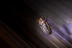 Large Scarab June bug with white and gray stripes clinging to a window screen in the evening