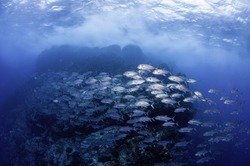 Large school of jack fish swimming at the dive site called