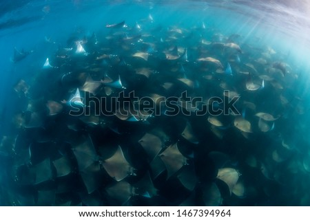 Large school of Munk's devil, or mobula, rays, Sea of Cortes, Baja California, Mexico. Stock fotó ©