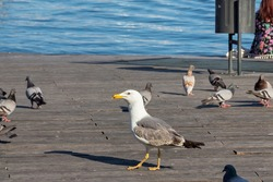 Large seagull on a wooden pier surrounded by pigeons next to the Mediterranean Sea in sunny day.