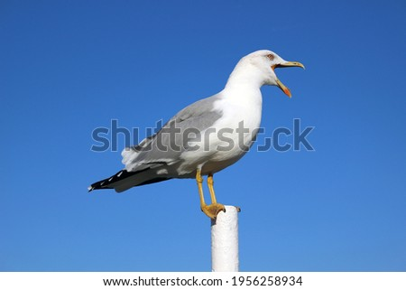 Large seagull with an open beak against blue sky, beautiful seabird stands on pole and shouts Stockfoto ©