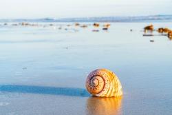 Large seashell and washed up kelp on sand with beach and sea background at Papamoa Tauranga, New Zealand