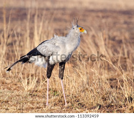 Large Secretary bird posing as with body side on